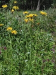 Marsh Hawk´s Beard (Crepis paludosa)