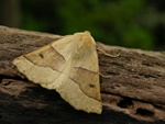 Scalloped Oak (Crocallis elinguaria)