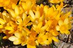 Yellow Crocus (Crocus flavus)