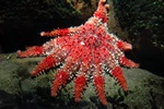 Common sun star (Crossaster papposus)