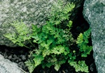 Parsley Fern (Cryptogramma crispa)