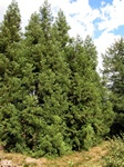 Japanese Red-Cedar (Cryptomeria japonica)