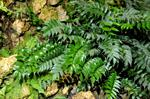 House Holly-fern (Cyrtomium falcatum)