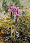 Lapland Marsh-Orchid (Dactylorhiza lapponica)