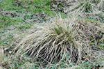 Tufted Hair-Grass (Deschampsia cespitosa)