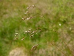 Common Hair-grass (Deschampsia flexuosa)