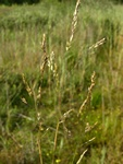 Bog Hair-Grass (Deschampsia setacea)