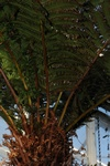 Tree Fern (Dicksonia sellowiana)