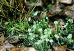 Alpine-clubmoss (Diphasiastrum alpinum)