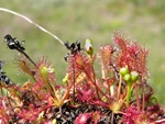 Long-leaved Sundew (Drosera intermedia)