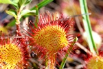 Common Sundew (Drosera rotundifolia)