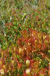Great x Common Sundew (Drosera x obovata)
