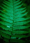 Scaly Male Fern (Dryopteris affinis)