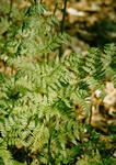 Northern Buckler-Fern (Dryopteris expansa)