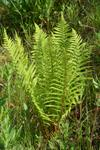 Male Fern (Dryopteris filix-mas)