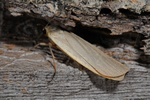 Buff Footman (Eilema depressa)