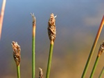 Many-Stalked Spike-Rush - Many-Stemmed Spike-Rush (Eleocharis multicaulis)