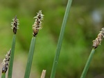 Common Spike-rush (Eleocharis palustris ssp. vulgaris)