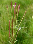 Hoary Willowherb (Epilobium parviflorum)