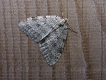 Pale November Moth (Epirrita christyi)