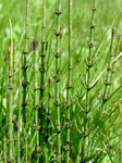 Marsh Horsetail (Equisetum palustre)