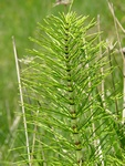 Great Horsetail (Equisetum telmateia)