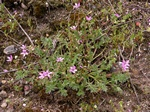 Common Stork´S-Bill (Erodium cicutarium)