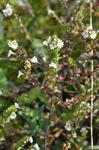 Euphrasia arctica ssp. minor