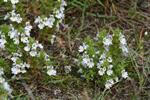 Wind Eyebright (Euphrasia nemorosa)