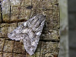 Great Brocade (Eurois occulta)