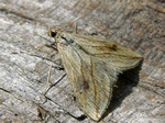 Garden Pebble Moth (Evergestis forficalis)