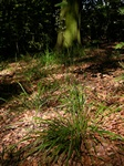 Wood Fescue (Festuca altissima)