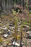Common Cudweed (Filago vulgaris)