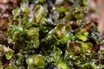 Dilated Scalewort (Frullania dilutata)