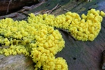Dog vomit slime mold (Fuligo septica)