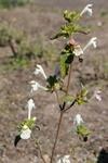 Downy Hemp-nettle (Galeopsis segetum)
