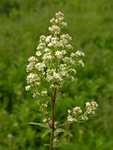 Northern Bedstraw (Galium boreale)