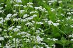 Great Marsh Bedstraw (Galium elongatum)