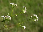 Common Marsh-Bedstraw - Marsh Bedstraw (Galium palustre)