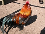 chicken, hen (Gallus gallus)