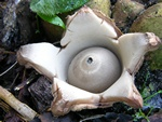 Collared Earthstar (Geastrum michelianum)