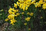 German Greenweed (Genista germanica)