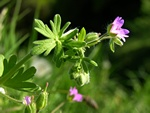 Dove´S-Foot Crane´S-Bill (Geranium molle)