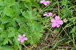 Marsh Crane´s-bill (Geranium palustre)