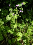 Hedgerow Crane´s-bill (Geranium pyrenaicum)