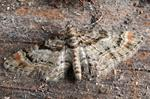 Double-striped Pug (Gymnoscelis rufifasciata)