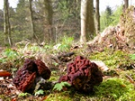 False Morel (Gyromitra esculenta)