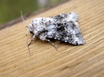Broad-barred White (Hecatera bicolorata)