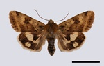 Shoulder-striped Clover (Heliothis maritima)