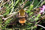 Narrow-bordered Bee Hawk-moth (Hemaris tityus)